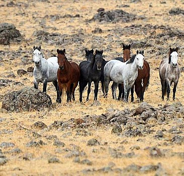 Tunceli'de yılkı atları bozkırlara renk katıyor