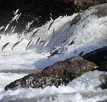 Van'da oksijensiz kalan inci kefallerine barajdan 'can suyu' takviyesi