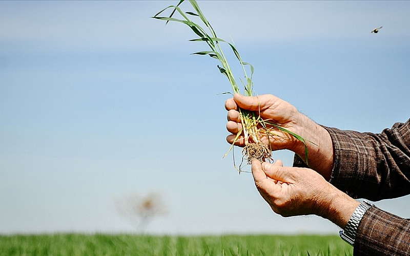 Buğday rekoltesi için ay sonuna kadar oluşacak yağışlar önem taşıyor