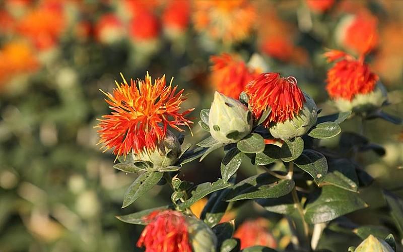 Kurak dönemlerde yazlık yağ bitkilerine alternatif 'kışlık yağ bitkileri' ekilmesi öneriliyor