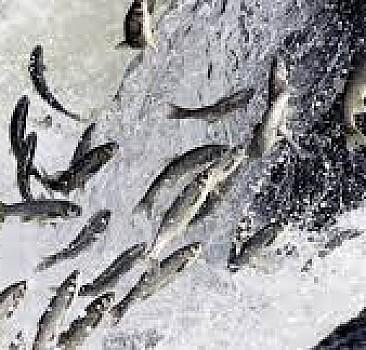 İnci kefalinin tatlı sulara göçü başladı