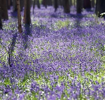 Hallerbos Ormanı'nda çan çiçekleri ziyaretçileri büyülüyor