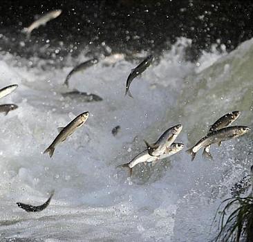 Van Gölü'nde yaşayan inci kefalleri üreme döneminde sıkı önlemlerle korunacak