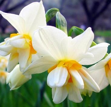 Nergis çiçeğinin bakımı nasıl olmalı?