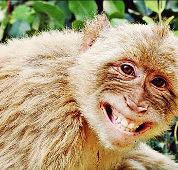 Yaramaz maymunlar
